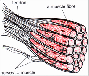 TendoGuard_Nerves_muscles_CN